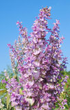Salvia sclarea odorous herb. Salvia sclarea an old-fashioned herb with a strong smell and wonderful lilac colors was in former times a medicin for several royalty free stock photos