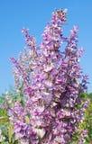 Salvia sclarea odorous herb royalty free stock photos