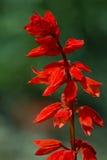 Salvia sPlenden blomman Arkivfoto