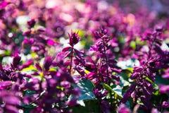 Salvia splendens 库存照片