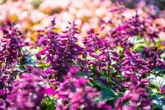 Salvia splendens 免版税图库摄影