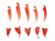 Salvia splendens bloem Royalty-vrije Stock Foto