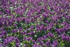 Salvia Splendens Flower Royalty Free Stock Photography