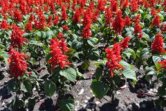 Salvia splendens in full bloom. In May royalty free stock photography