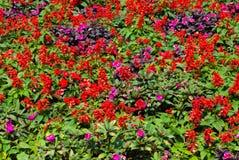 Salvia Splendens och rosa petuniablommaträdgård Arkivfoto