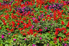 Salvia Splendens and Pink Petunia Flowers Garden stock photo