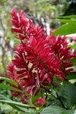 Salvia splendens stock photography