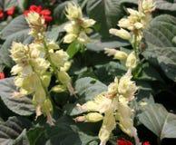 Salvia splendens 'Salsa White. Salva splendens 'Salsa White', cultivar of popular garden ornamental herb with white flowers and enlarged white calyx royalty free stock photos