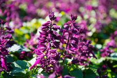 Salvia splendens. The scarlet sage or tropical sage, is a tender herbaceous perennial native to Brazil. Most nurseries carry dwarf varieties in various colors royalty free stock photography