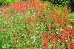 Salvia splendens scharlaken wijze, tropische salie Stock Foto