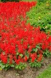 Salvia splendens in tuin Stock Afbeelding