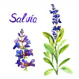 Salvia stem with flowers and leaves, separate flower, isolated on white background hand painted watercolor illustration. With inscription royalty free stock photo