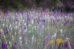 Summer meadow sage background. Salvia. summer meadow sage background stock photos