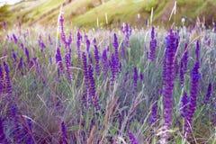 Summer meadow sage background. Salvia. summer meadow sage background stock photography