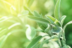 Salvia In Sunny Early Spring Garden royalty-vrije stock foto's