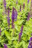 Salvia x superba. Cultivated variety of sage - Salvia x superba royalty free stock image