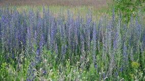 Salvia Superba in de zomer op weide stock video