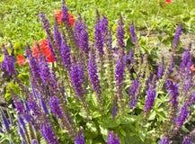 Salvia superba Stock Photo