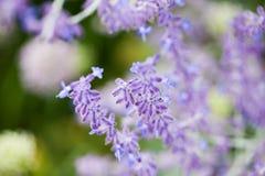 Salvia Sylvestris Rose Queen Stock Image