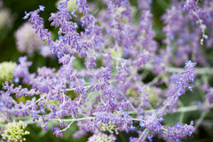 Salvia Sylvestris Rose Queen Stock Images