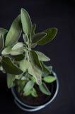 Salvia in vaso Fotografia Stock
