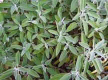 Salvia verde Fotografie Stock Libere da Diritti