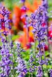 Salvia Victoria Blue im Sonnenlicht am Morgen Lizenzfreie Stockfotos