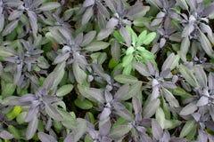 Salvia viola fotografie stock