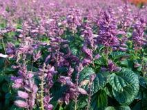 Salvia viola Fotografia Stock Libera da Diritti