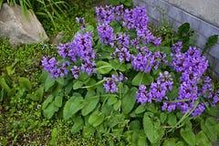 Salvia viridis -灰绿色 库存照片