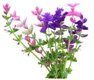 Salvia Viridis Arkivfoto