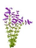 Salvia Viridis Royaltyfria Bilder