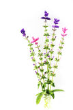 Salvia Viridis Arkivbilder