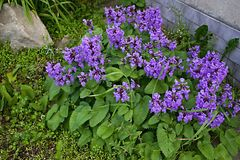 Salvia viridis - vis gräsplan Arkivfoton