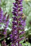 Salvia x sylvestris Nacht? 2 ?van Mei Stock Foto's