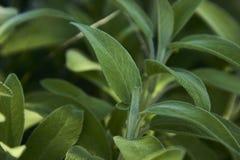 Salviablad Royalty-vrije Stock Afbeelding
