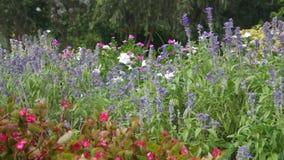 Salviabloem in het bloembed stock videobeelden