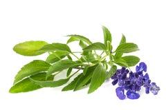 Salviafarinacea stock fotografie
