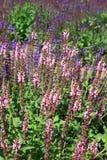 Salviajaponica royalty-vrije stock afbeeldingen