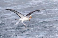 Salvin \ 's-albatross, Thalassarche salvini arkivbilder