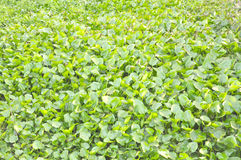 Salvinia for Background. LOt of Salvinia for Background Stock Image