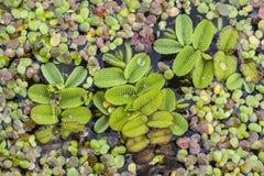Salvinia natans als drijvende varen, watermoss, drijvend mos algemeen wordt bekend die, of commercieel, watervlinder die drijven stock afbeeldingen