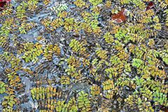 Salvinia natans, an aquatic , floating fern. On the surface of a pool of water Royalty Free Stock Images