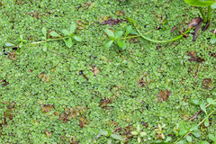 Salvinia natans. (commonly known as floating fern, floating watermoss, floating moss, or commercially, Water Butterfly Wings Royalty Free Stock Image