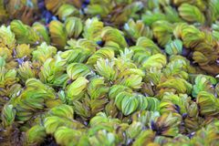Salvinia natans, Giant salvinia, Water fern, Floating fern with fresh morning dew stock photo