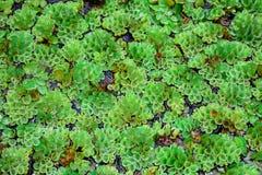Salvinia natans textuur stock afbeeldingen