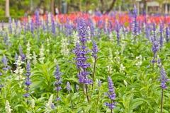 Salvis flowers Stock Photography