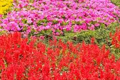 Salvis flowers Royalty Free Stock Photos
