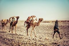 Salz-Kamel in Dallol, Danakil-Krise, Äthiopien lizenzfreie stockfotos