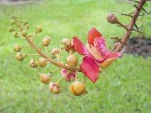 salz Salz-Baum Salz von Indien, Abschluss herauf schöne Blume kanonenkugel Lizenzfreie Stockfotografie